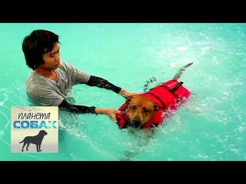 Планета собак. Тайский риджбек