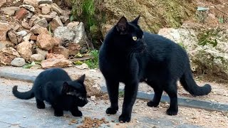 Black kitten and mother cat are very hungry. | Mother cat is very protective of her kitten.