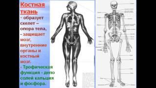 видео Костная ткань. Функции костной ткани. Строение костной ткани