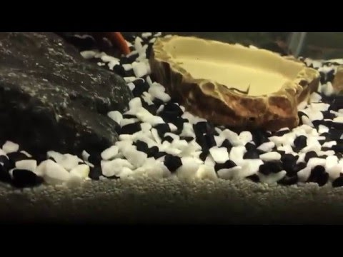 Small African dwarf frog tank