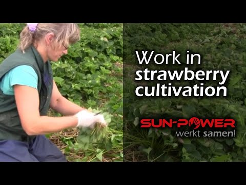 Work in the strawberry cultivation | Sun-Power