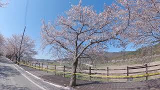 보령 주산 벚꽃길1