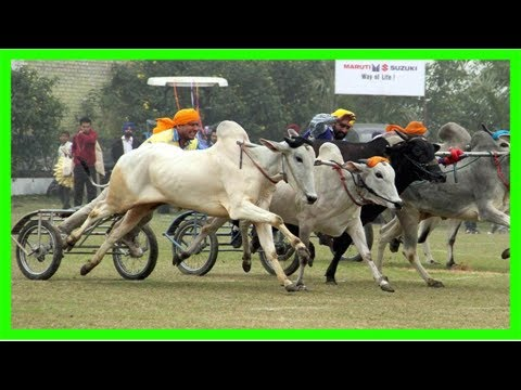Madras hc declines to stay bullock cart races in tamil nadu