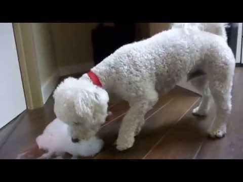 Bichon Frise Dog Playing with Bubbles