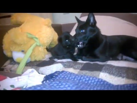 Schipperke puppy plays with mom