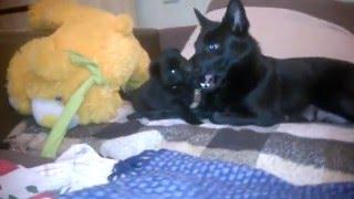 Schipperke puppy plays with mom
