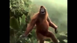 Orang-outan qui danse
