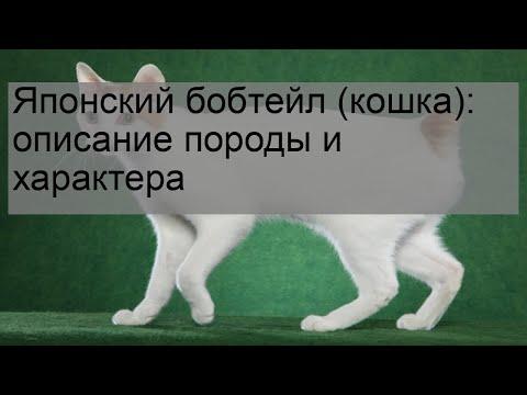 Японский бобтейл (кошка): описание породы и характера