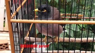 Gambar cover JALAK NIAS BETINA ||| acridotheres tristis