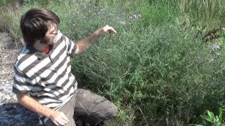 Spotted Knapweed, identification of the Wisconsin Invasive Species Centaurea stoebe