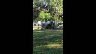 Amazing!! Florida Cranes dancing