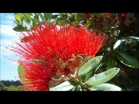 Music of the plants: Pohutukawa Tree