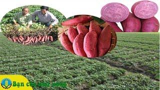 Kinh nghiệm trồng Khoai Lang Nhật đem lại hiệu quả Kinh tế cao