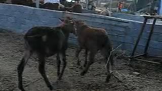 Dwarf dwarf donkey mule pony   online play   Youku, high definition video online watch