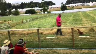Spaniel Gundog Training By Ian Openshaw - Cla 2013 - 1