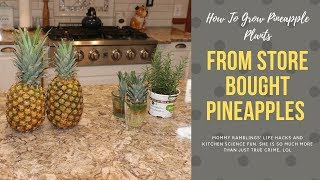 Best Way To Grow Pineapples From Store Bought Pineapples