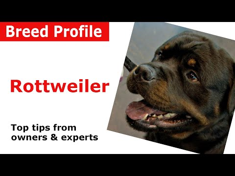Rottweiler Dog Breed Guide