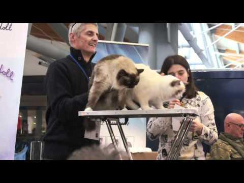 Ragdoll best show mostra internazionale felina Sanremo