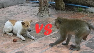 Aking vs a dog to eat Rambutan Part 2 (Monkey and Dog)