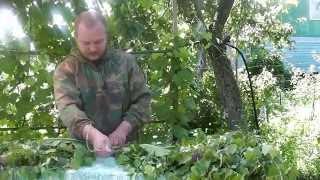 Как заготавливать березовые веники. Часть 2 - вяжем и сушим веник для бани.(Как правильно заготовить веник для бани, правильный березовый веник, как парится в бане. САЙТ АВТОРА: http://chist..., 2014-07-05T09:30:16.000Z)
