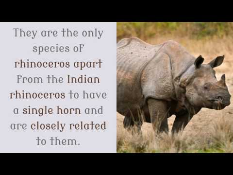 16 Facts You Should Know About Javan Rhinoceros