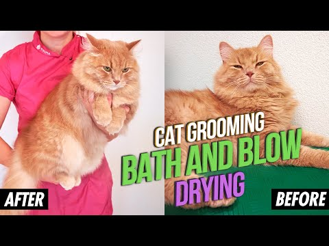 Cat Grooming: Siberian cat Dreamcat brushed, taking a bath, cleaned and blow dried