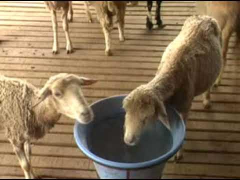 Goat Farming information  karnataka
