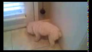 Bell Potty Training - Maltipoo Dog Brie Davis