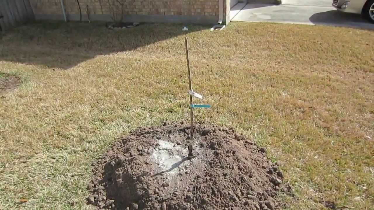 How To Plant A Bare Root Fruit Tree Youtube