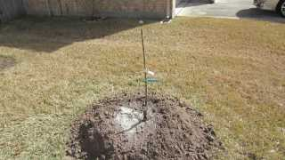 How To Plant A Bare Root Fruit Tree