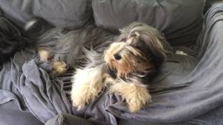 Bearded collie Roope