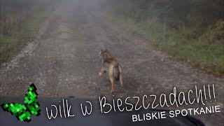 Młody wilk w Bieszczadach. Tak blisko!