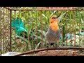 Suara Kicau Burung Kemade Jawa Gacor Sebagai Pikat Dan Pancingan Burung Cabai Cit Keres Liar  Mp3 - Mp4 Download