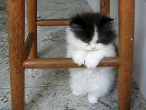 Meu gato persa com 2 3 meses de idade youtube - Cuidados gato 1 mes ...