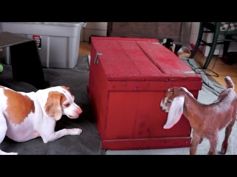 Cute Dog & Baby Goats Playing Hide & Seek: Cute Dog Maymo