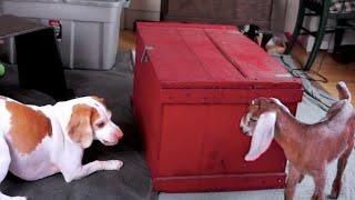Cute Dog & Baby Goats Playing Hide & Seek: Cute Dog Maymo