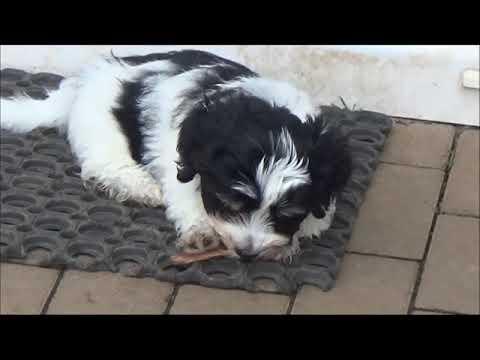 Havaneser Welpen Spielen Havanese Puppies Play Youtube