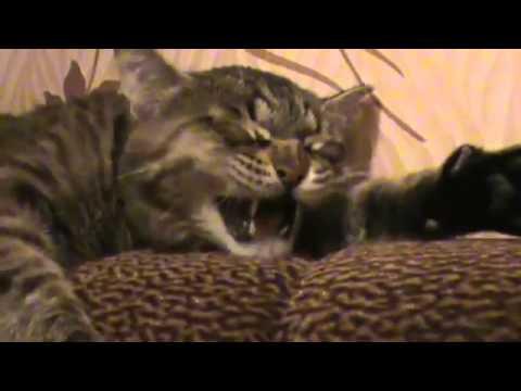 african wild cat behavior