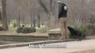 Rottweiler - Dog Training Charlotte Nc - The Dog Wizard
