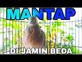 Perkutut Crossing Silangan Suara Mantap  Mp3 - Mp4 Download