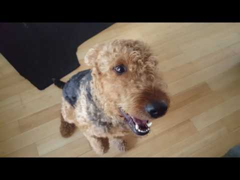 Airedale Terrier Puppies for Sale Video - S & S Family Airedales - Adult Airedale Duke, Bed or Flop?