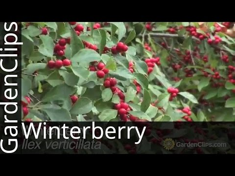 Winterberry - Ilex verticilata - Deciduous Holly