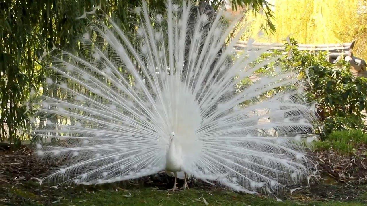 Le Paon Qui Fait La Roue un paon blanc fait la roue au jardin d'acclimatation à paris- white peacock  - avril 2016 2/3