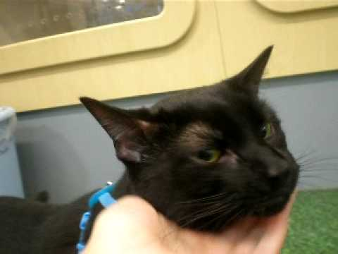 Bombay Cat for Adoption- Tank at PetCo by the Peninsula Humane Foundation