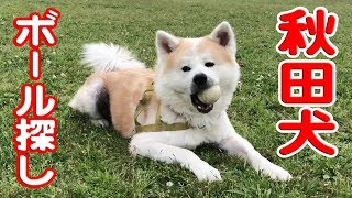 grandchild and German Shepherd dog 秋田犬元気に過ごしてます。 夜明...