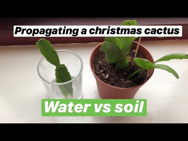 Propagating Christmas Cactus.Propagating Christmas Cactus Water Vs Soil With Updates