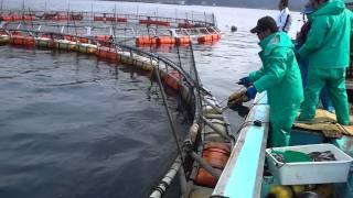 養殖マグロの出荷 in上五島 勝栄丸