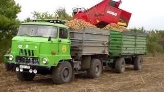 IFA L 60 in der Kartoffelernte 2013 in G...