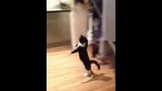 Mr Bouncy Cat  The Funny Cat Walk Hop