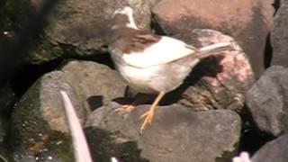 White Leucistic Sparrow